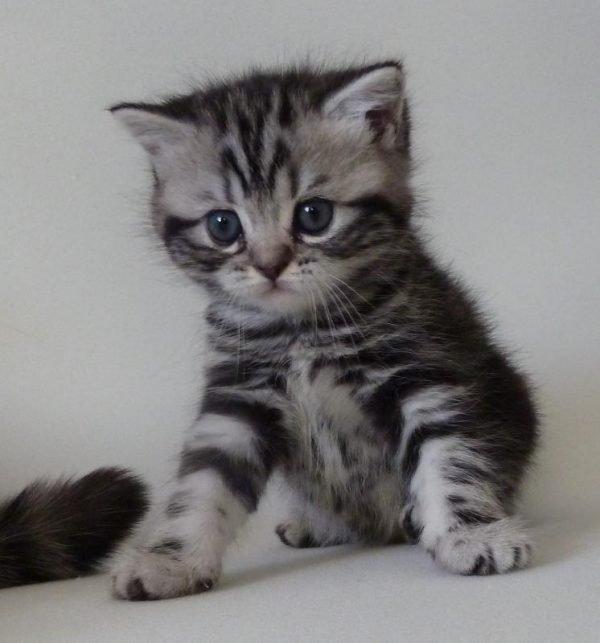 3-месячный котенок британской кошки