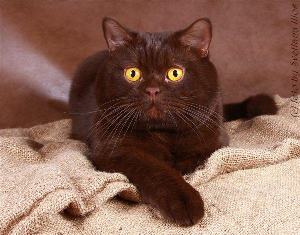 Шоколадная окраска кота