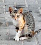 короткошерстная домашняя кошка