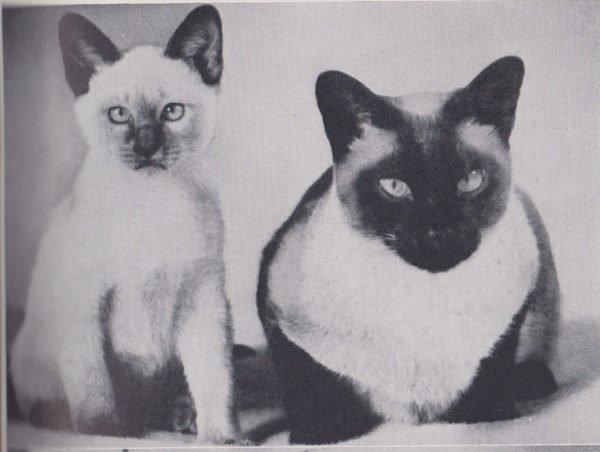 Старое фото тайских кошек