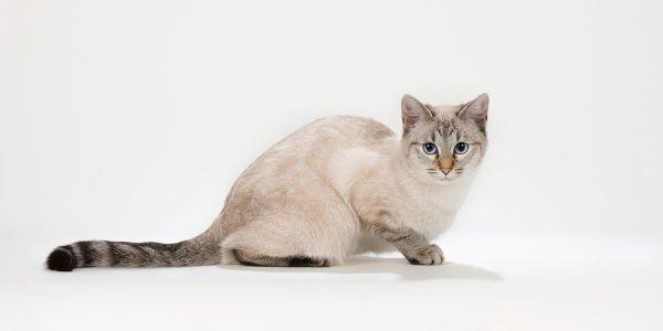Тайский кот кремовый табби