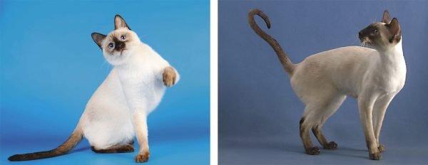 Отличия тайской и сиамской кошек