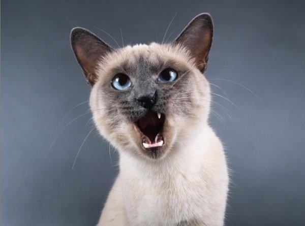 Тайский кот мяучит