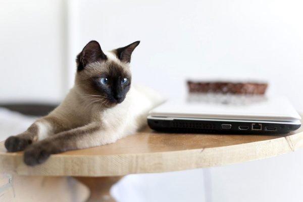Тайский кот с косоглазием