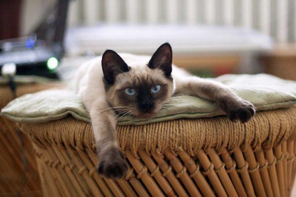 Тайская кошка лежит