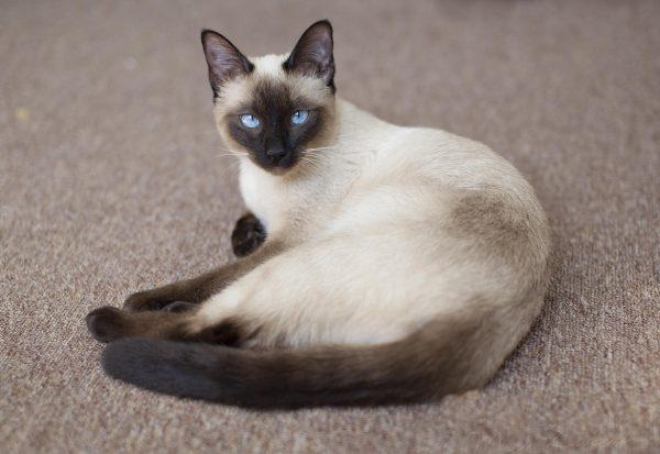 Тайская кошка на ковре