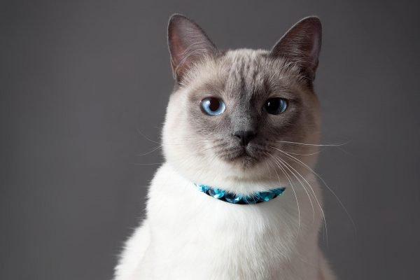 Фото-портрет тайской кошки