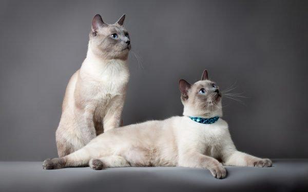 Тайские кот и кошка