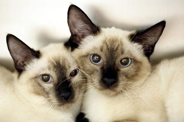 Парочка тайских котов