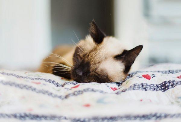 Тайский кот спит