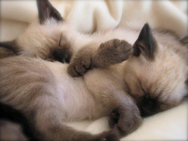 Тайские котята во сне