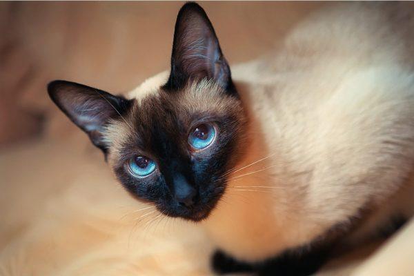 Тайская кошка с голубыми глазами