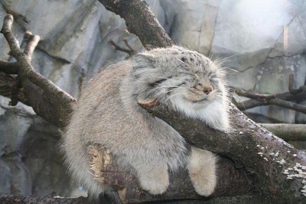 Манул спит на дереве