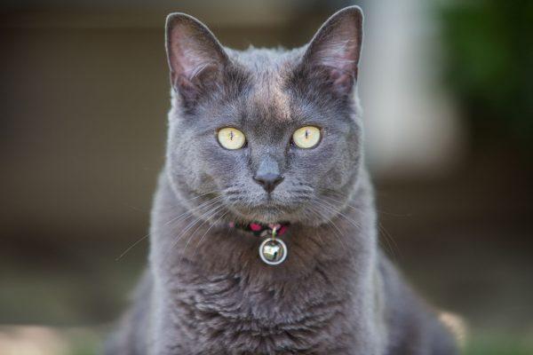 Самец русской голубой кошки