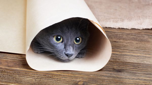 Русская голубая кошка прячется