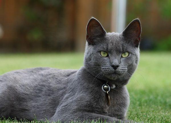 Самец русской голубой кошки на природе