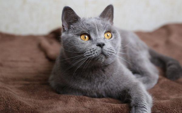 Русская голубая кошка британского типа