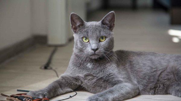 Руская голубая кошка на полу