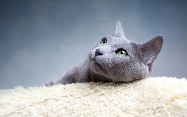 Русская голубая кошка на полотенце