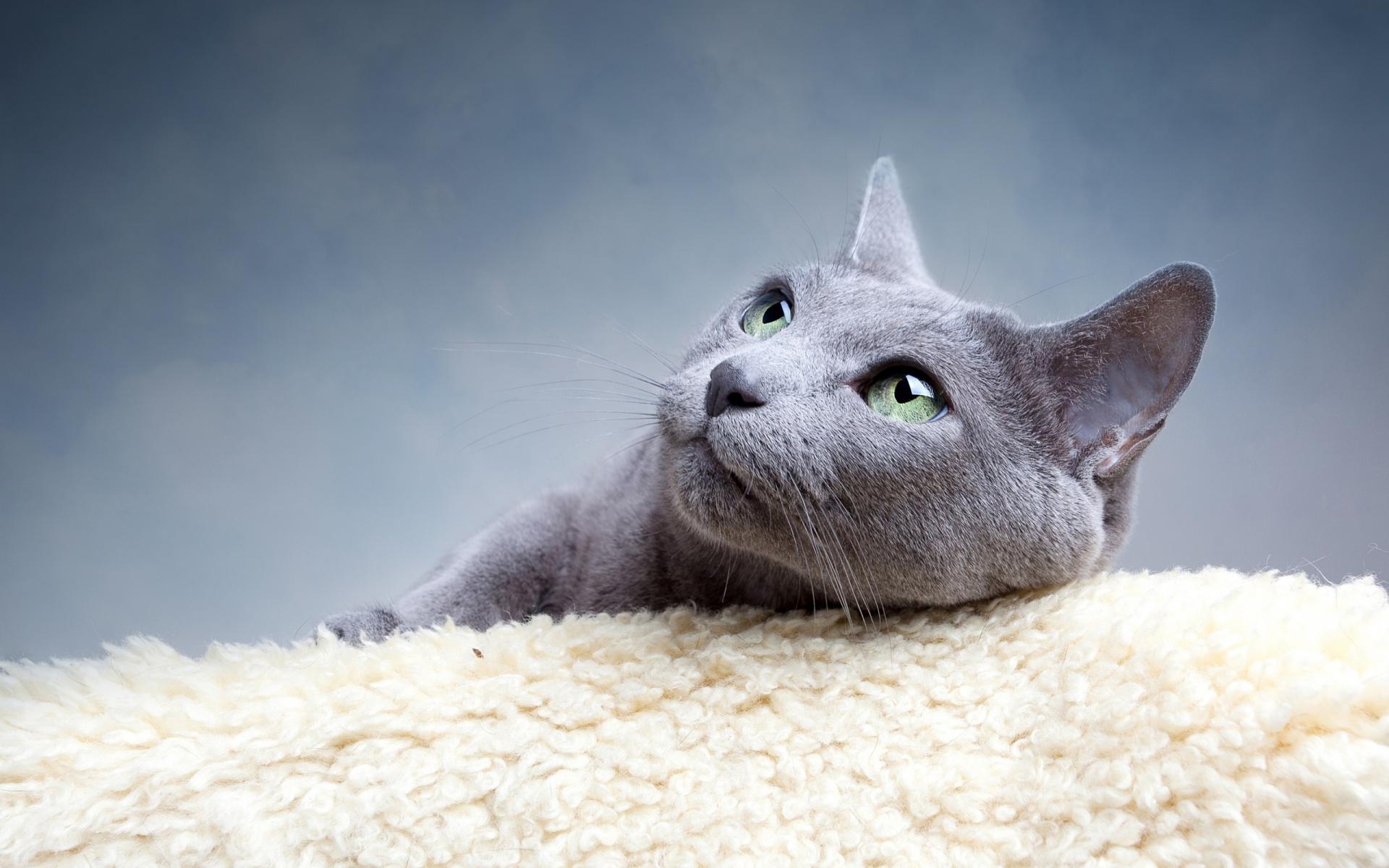 картинки с серыми кошками на рабочий стол без