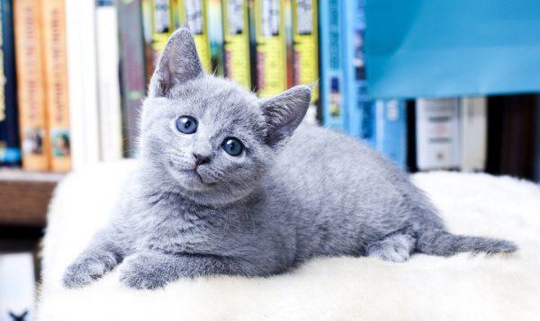 Породистый котёнок русской голубой