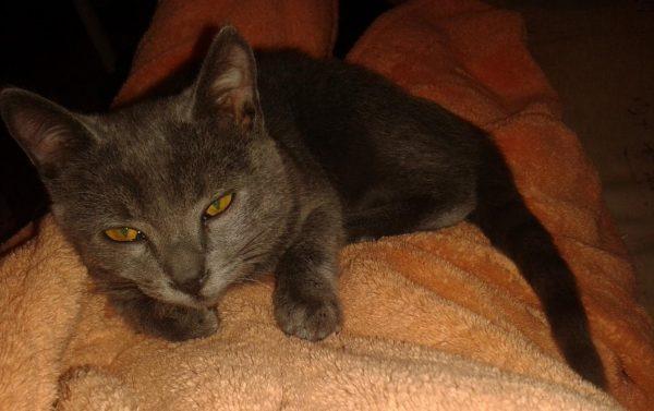 Беспородный котёнок русской голубой