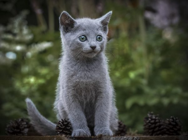 Котёнок русской голубой на природе