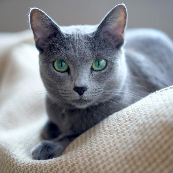 Русская голубая кошка: портрет