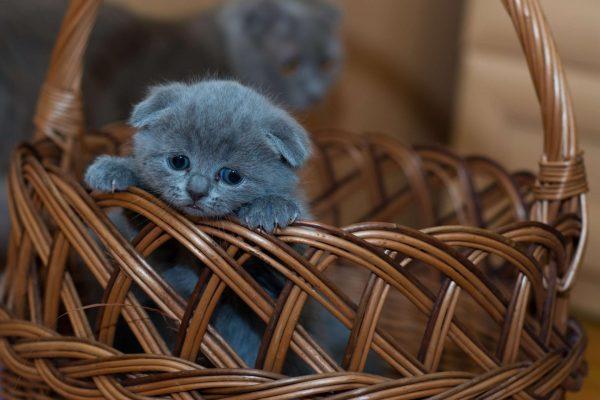 Котёнок русской голубой в корзине