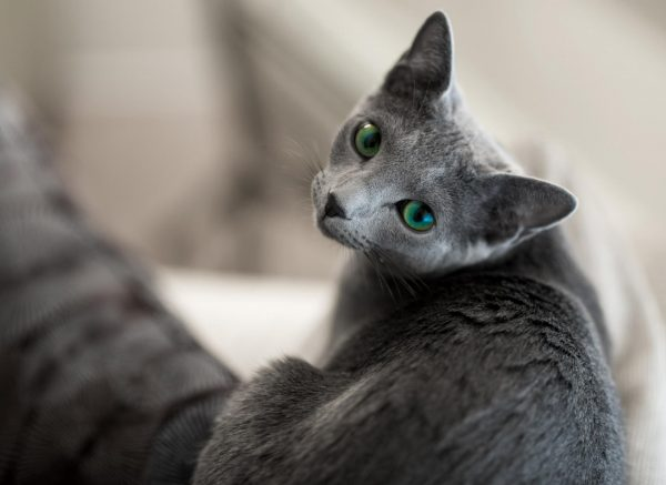 Русская голубая кошка американского типа