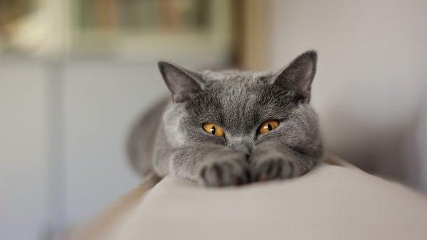 Игравия русская голубая кошка