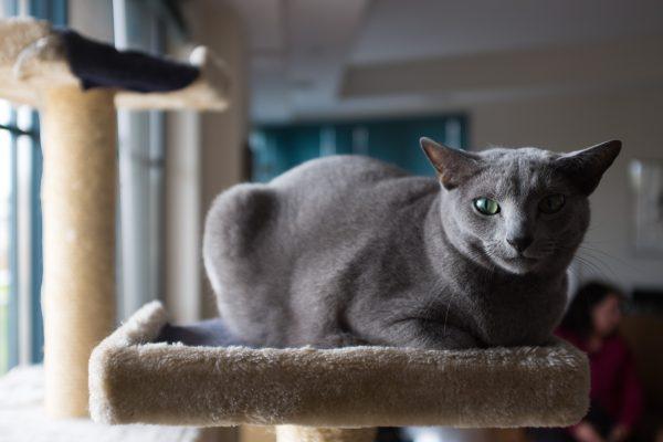 Русская голубая кошка на лежанке
