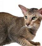 ориантальная кошка