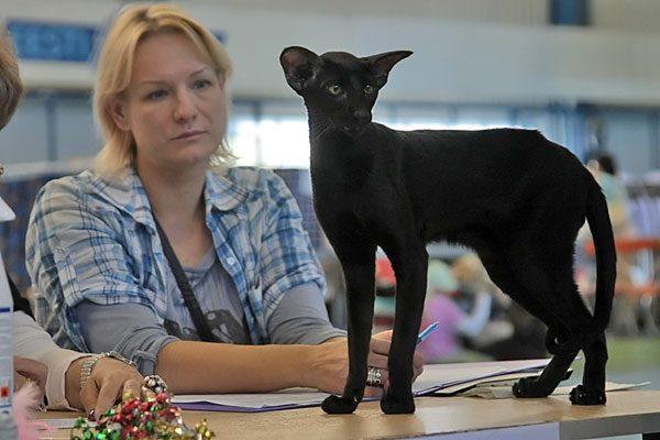 Чёрный ориентал на столе во время экспертизы