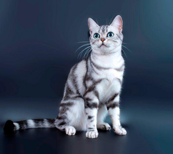 Американская короткошерстная кошка сидит