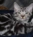 Американская короткошёрстная кошка мраморного окраса
