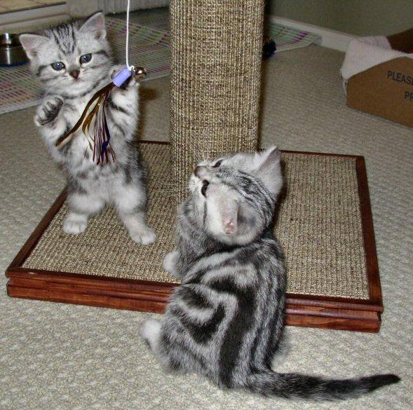 Два котёнка американской короткошёрстной породы играют