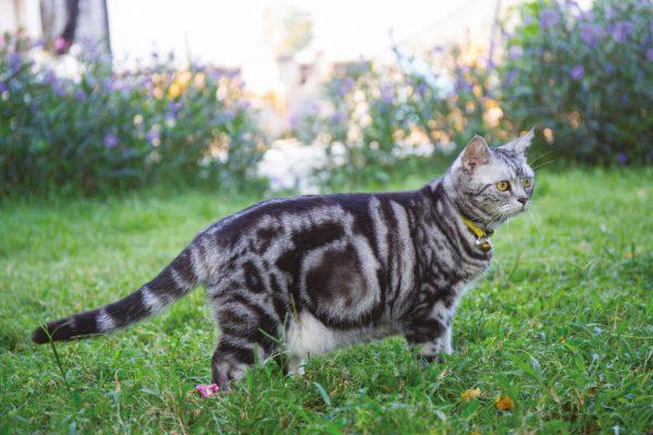 Беременная американская короткошёрстная кошка