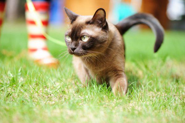 С бурманской кошкой можно выходить на прогулки