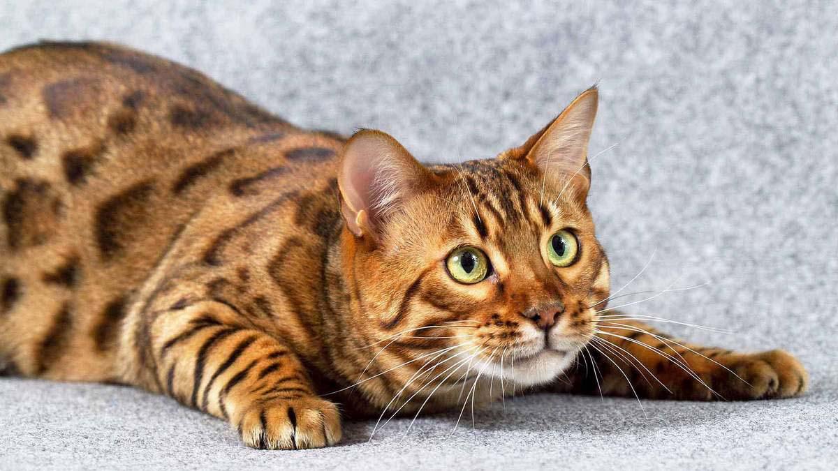 Бенгальские кошки сколько лет живут