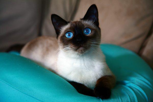 Современная тайская кошка