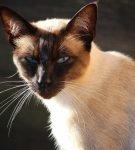 Сиамский кот расцветки сил-пойнт