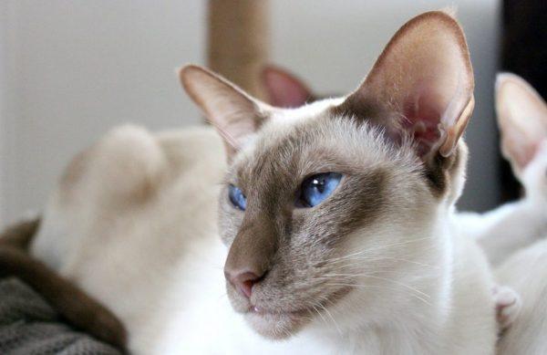 Сиамский кот: портрет