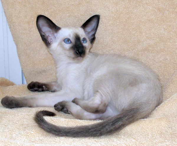 Породистый сиамский котёнок