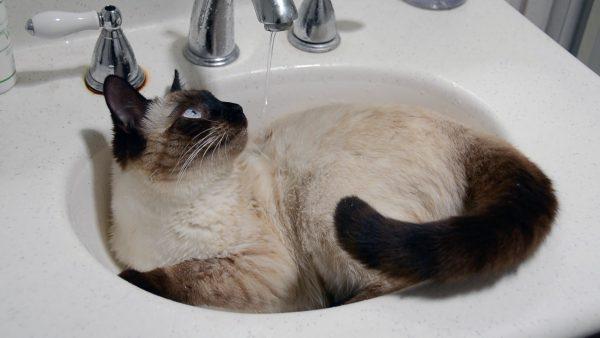 Сиамская кошка в раковине