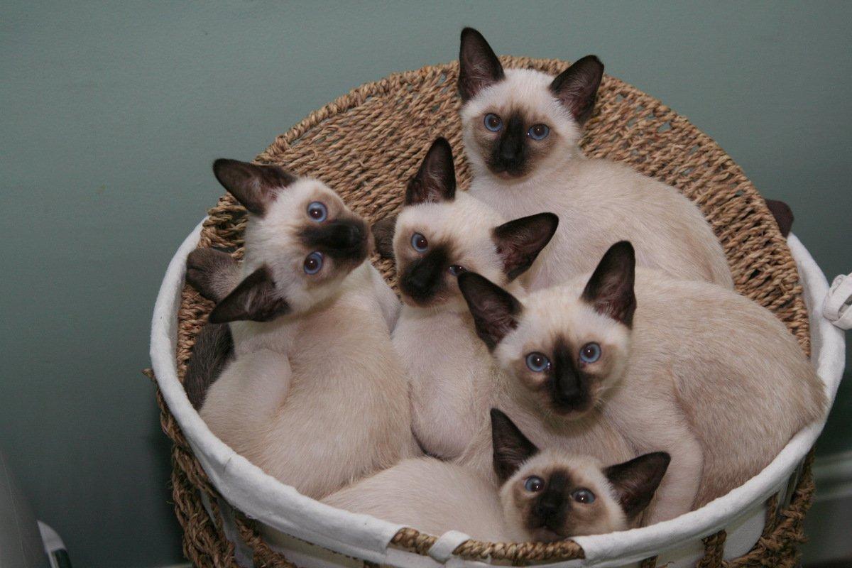 Картинки котят порода сиамская