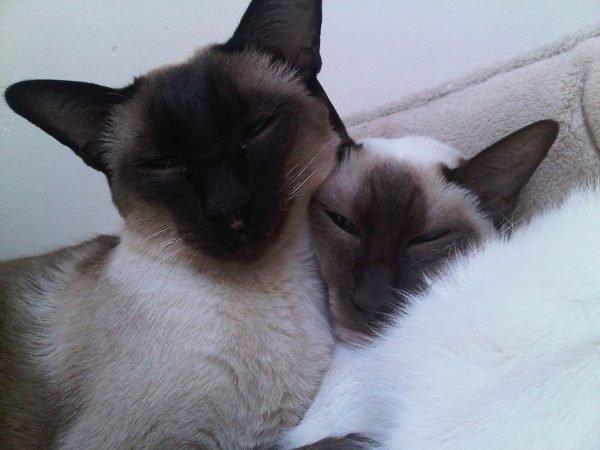 Сиамская кошачья семья