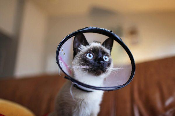 Сиамский кот в защитном конусе
