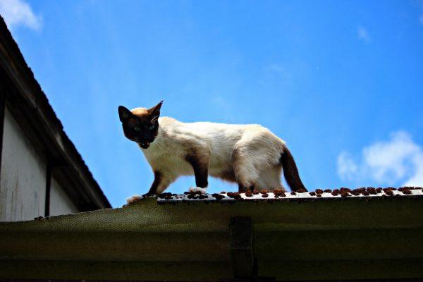 Сиамский кот на крыше