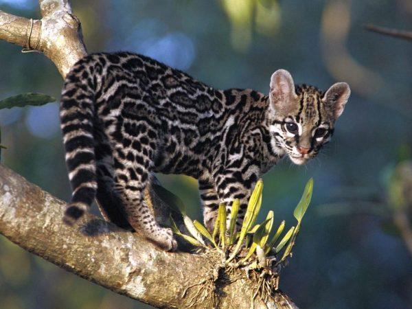 Дикий бенгальский леопард